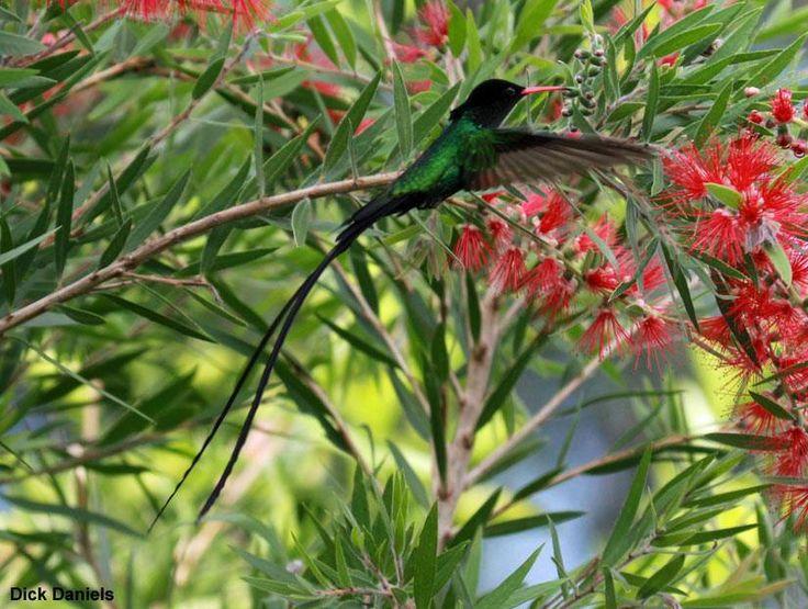 20ème rencontre internationale de BirdsCaribbean à Kingston (Jamaïque) du 25 au 29/07   Photo de Dick Daniels (Wikimedia Commons) : Colibri à tête noire (Trochilus polytmus) #ornithologie #oiseaux #birds #nature #jamaica
