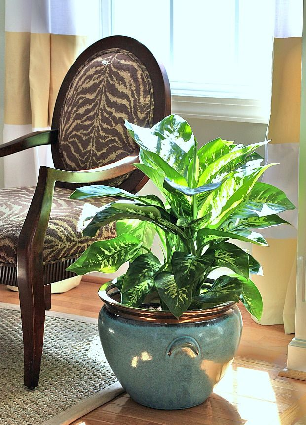 pretty dieffenbachia house plant. 10 Houseplants that Clean the Air  Page 3 of 11 Indoor House PlantsIndoor 19 best Dieffenbachia images on Pinterest plants