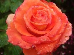 Image result for most beautiful orange roses in the world ...
