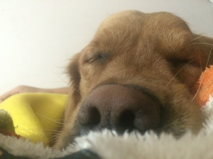 #sleep #dogs #goldenretriever