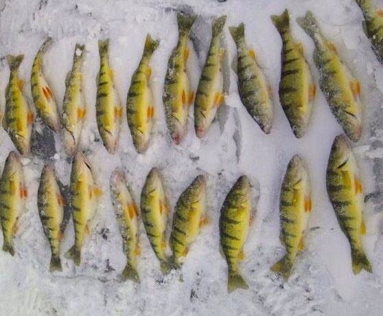 Starting shallow then working out every half hour insures that your going to find the big schools of jumbo perch