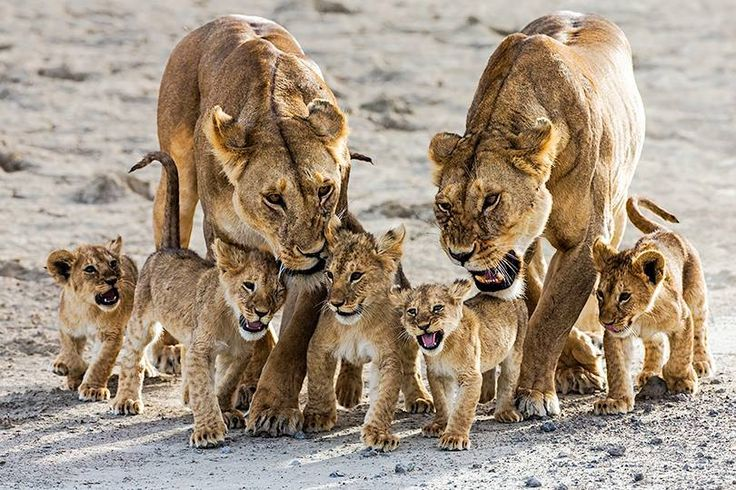 A rowdy bunch to keep under control!  Asilia Africa, East Africa Safaris