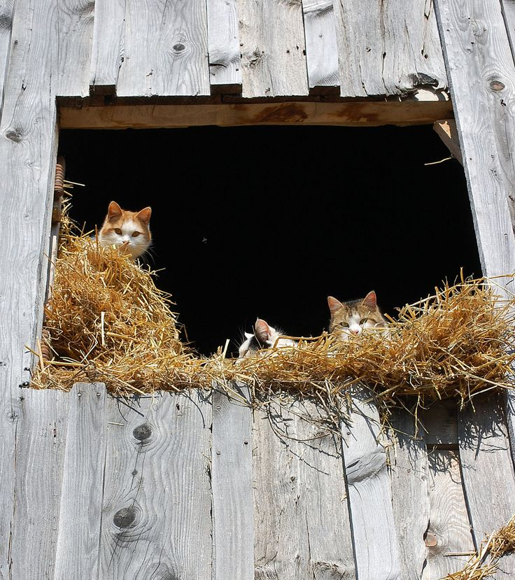 ♥   Barn Kitties, every farm needs em.