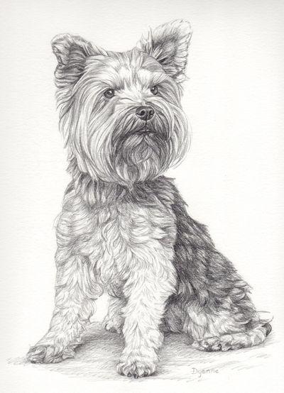 Tekening Yorkie in potlood, Dierenportretten in opdracht, Hondenportret in grafiet door Dyenne Nouwen