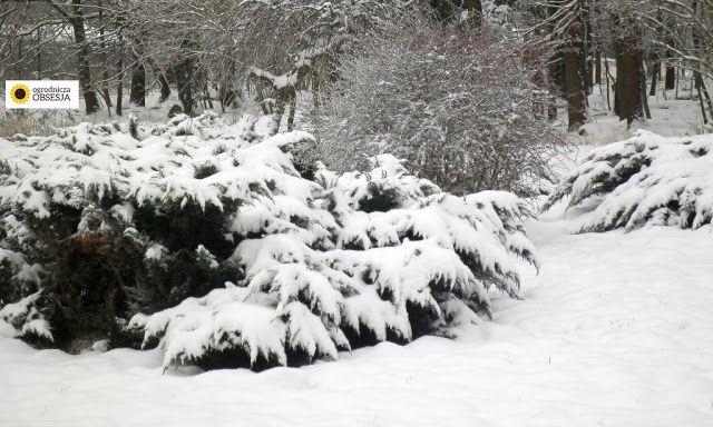 Ogrodnicza Obsesja: 6 powodów, dlaczego śnieg jest w ogrodzie potrzebn...