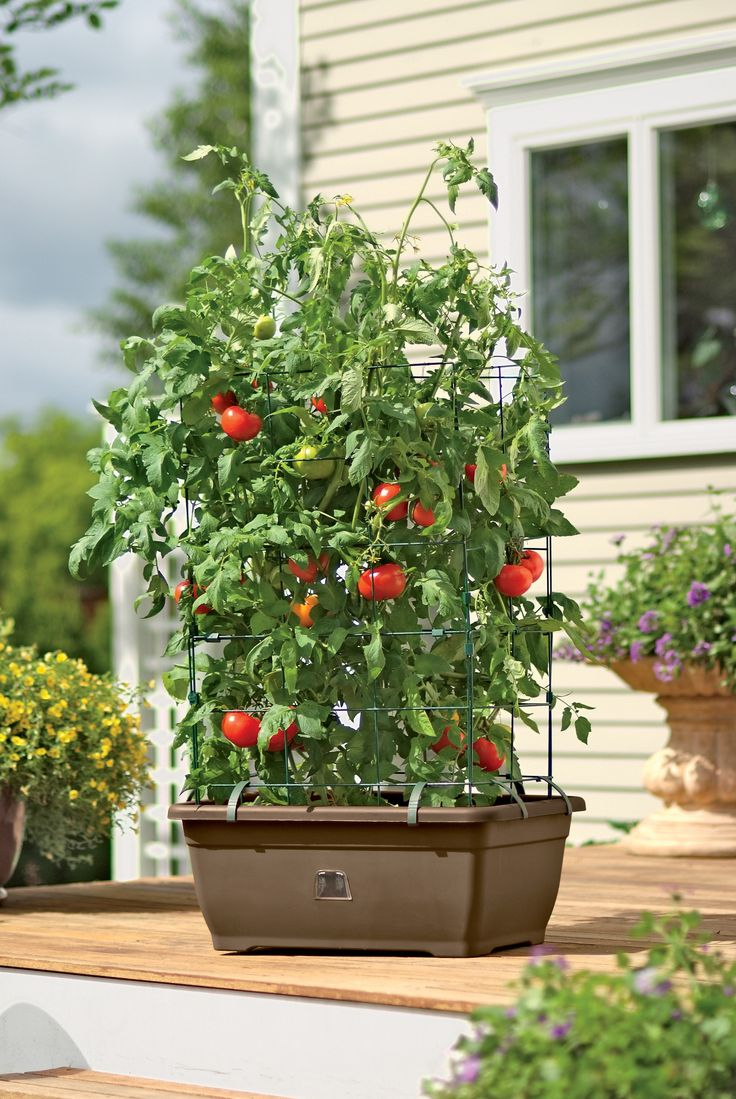 17 best ideas about self watering pots on pinterest self watering plastic water containers - Best tomato plants for container gardening ...