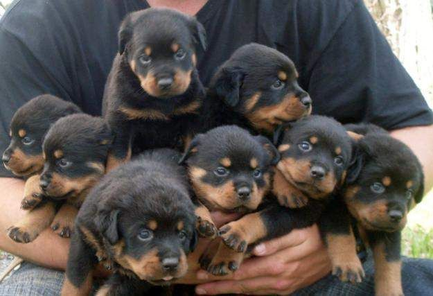 rottweiler puppy for sale | Zoe Fans Blog