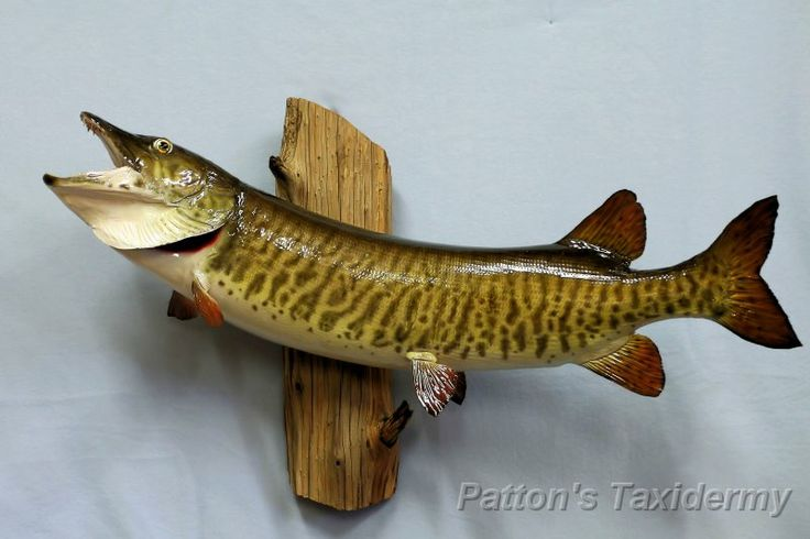 17 best images about musky record on pinterest the old for Muskie fish teeth