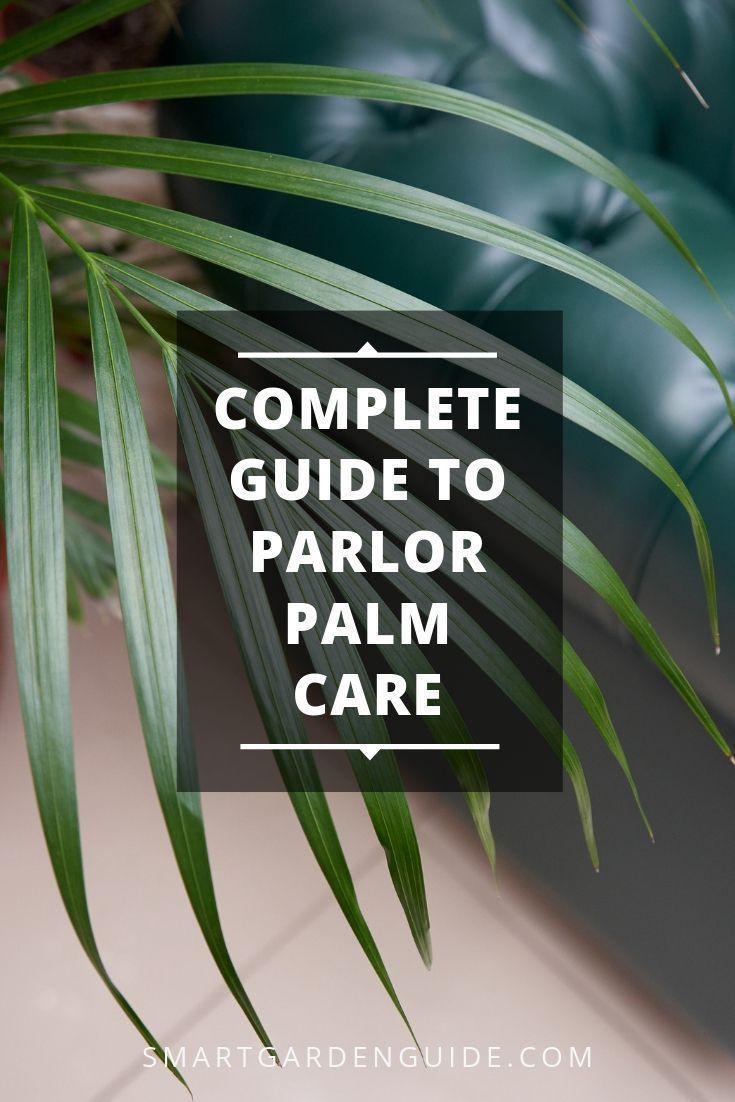 Palmenpflege im Innenbereich. Chamaedora elegans oder Parlour Palm ist ein großartiger …