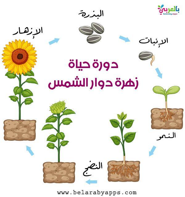 رسم دورة حياة النبات مراحل نمو النباتات بالصور انفوجرافيك بالعربي نتعلم Arabic Food