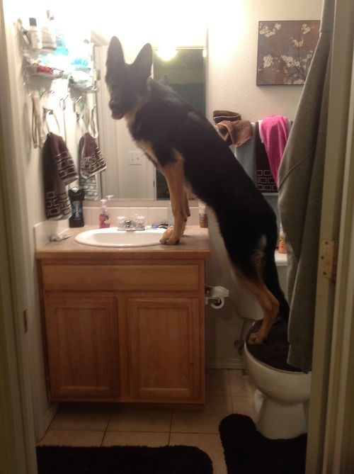 #GSD getting ready for the day #shepherds #dogs