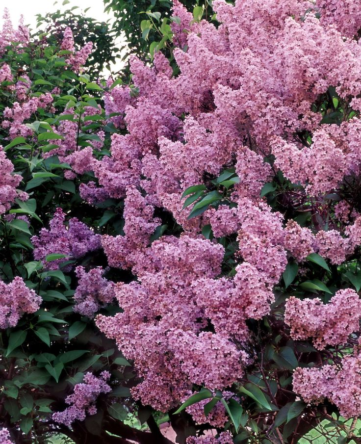 Lilac Bush...Just love the smell :)