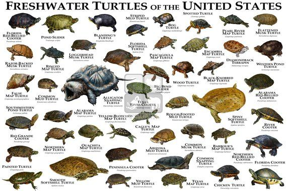 Freshwater Turtles Of The United States Art Print Field Etsy In 2020 Freshwater Turtles Types Of Turtles Turtle