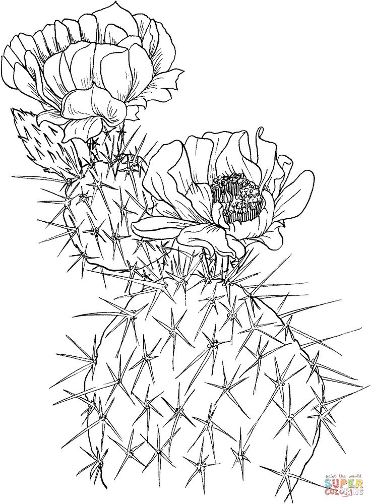 opuntia nopal or prickly pear cactus super coloring