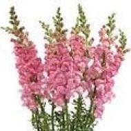 17 best bulk flowers filler flowers images on pinterest wedding pink snapdragons mightylinksfo