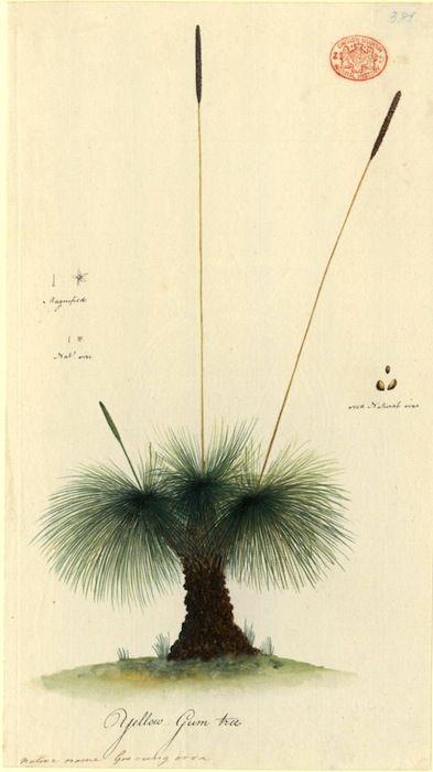 """Yellow Gum Tree, native name Goo rung arra"". Port Jackson Painter, between 1788 and 1797 (via First Fleet Artwork Collection)"