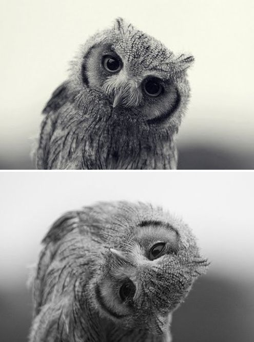 Fun Fact: Owls move their heads around ^like so^ because they can't actually move their eyes like humans do. Have you ever seen an owl that wasn't looking straight?