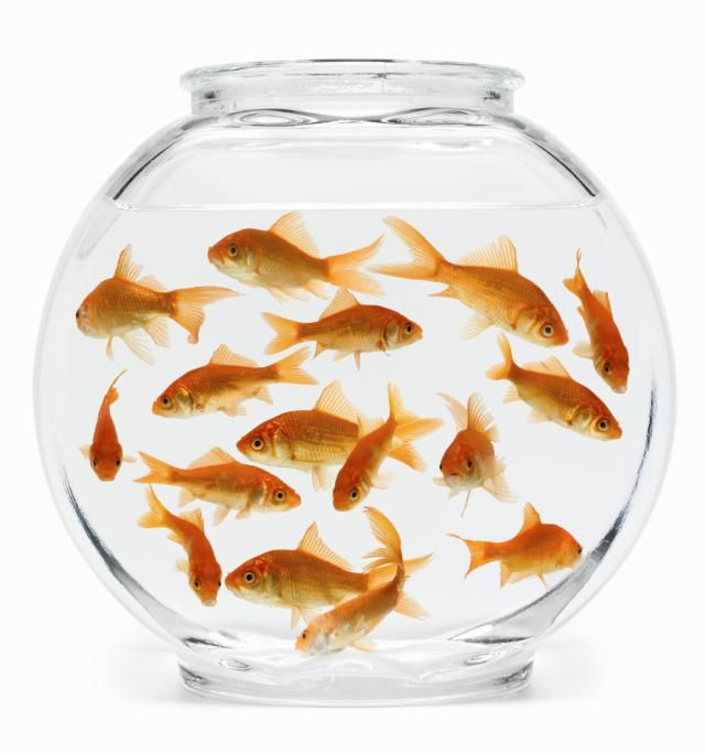 A small glass container, however, has a surface that is inadequate. It is sheer cruelty to keep Goldfish in a small glass bowl.