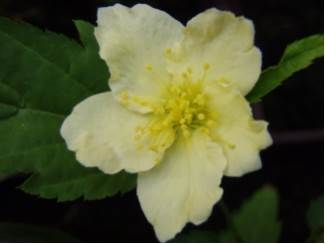 Kerria japonica Albiflora