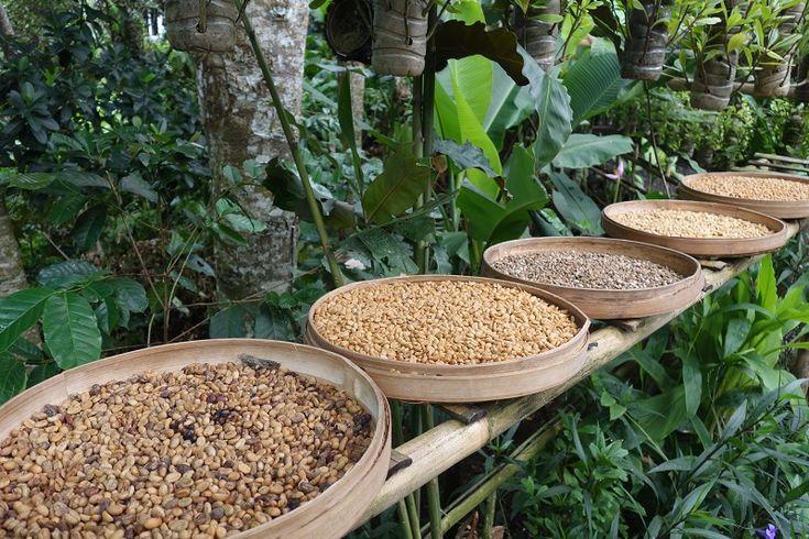 Kopi Luwak Tasting at Alas Harum Agro Tourism Bali
