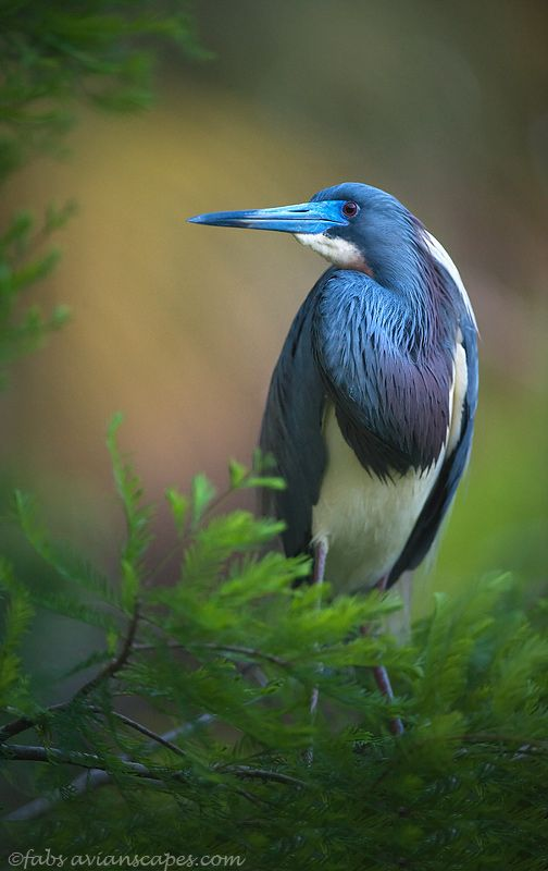 Tri-colored Heron in full breeding colors. St. Augustine, Florida