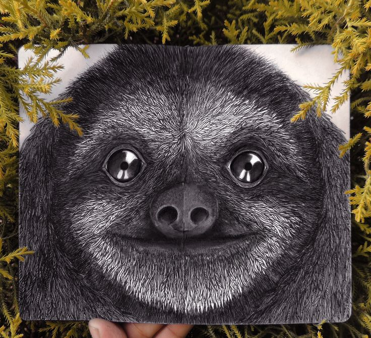 Pygmy three-toed sloth - The IUCN lists the pygmy three-toed sloth as critically endangered. Threats to the sloth's survival include timber harvesting and human settlement, that might lead to habitat degradation