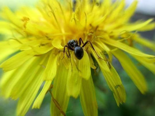 Maggio 2013. Una formica cammina su un fiore di Tarassaco, nei pressi delle nostre viti.