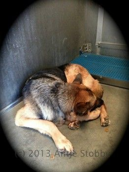 UREGENT!!! Gorgeous German shepherd shuts down behind bars.Lancaster, CA - A4654462, a 7 y/o female German Shepherd, totally shut down... Came in as a stray 11/19 but NO ONE CAME FOR HER. She is available NOW. Poor girl! Please call the shelter at 661.940.4191 RIGHT AWAY if you are interested in adopting any of the dogs I post.    https://www.facebook.com/photo.php?fbid=10152101614637318&set=a.10152101594052318.1073741881.733107317&type=1&theater