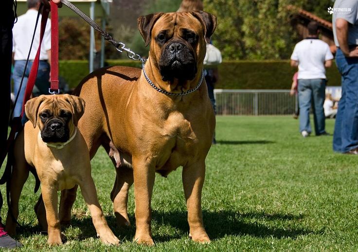 Giant Bull Mastiff Bullmastiffs   Big n s...