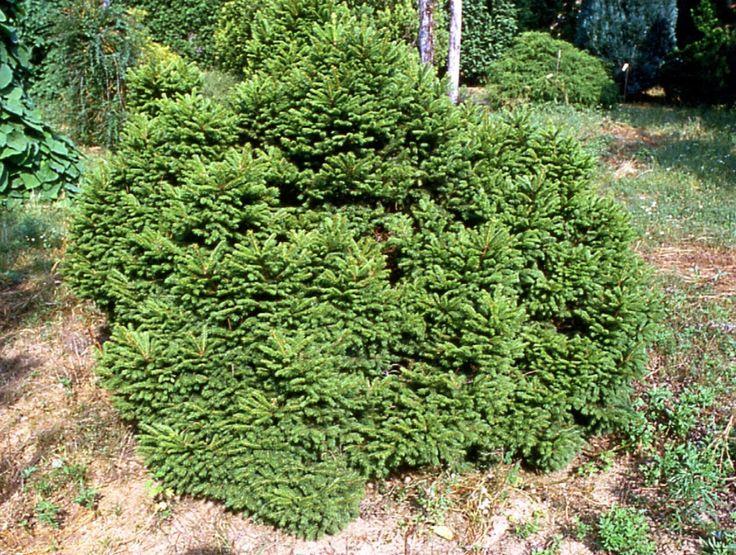 Picea abies Maxwellii. Aukštis apie 50cm., plotis apie 80cm.