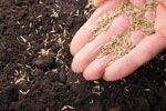 Koriander pflanzen und pflegen – So wird's gemacht
