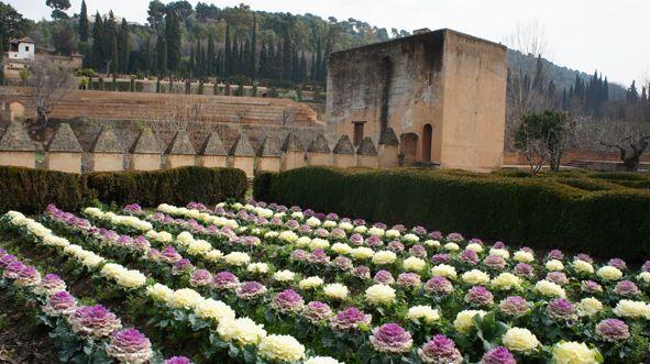 """La col (Brassica oleracea L.) es una planta hortícola procedente de Oriente Medio, que los romanos conocían como """"Col de Chipre"""" y los árabes como """"Col de Siria"""", y que fue extendida por Europa en el s. XVI. La llamada """"Col ornamental"""" incluye un gran número de variedades que son usadas en jardinería por las singulares formas o colores de sus hojas."""
