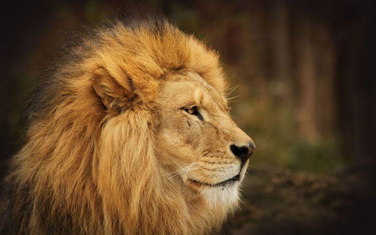 Image Of A Roaring Lion Dowload: The Lion Face Desktop HD Wallpaper