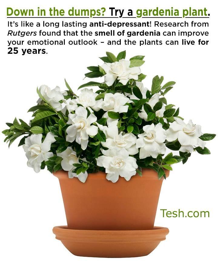 inspiring gardenia house plant. gardenia plant hmm need one  97 best Gardenia s images on Pinterest White flowers Beautiful
