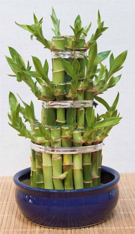Bambou Porte Bonheur