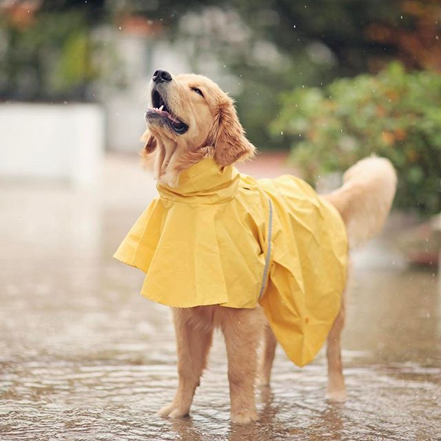 Happiness is a  Golden Retriever in the rain ☔️ or any water for that matter.