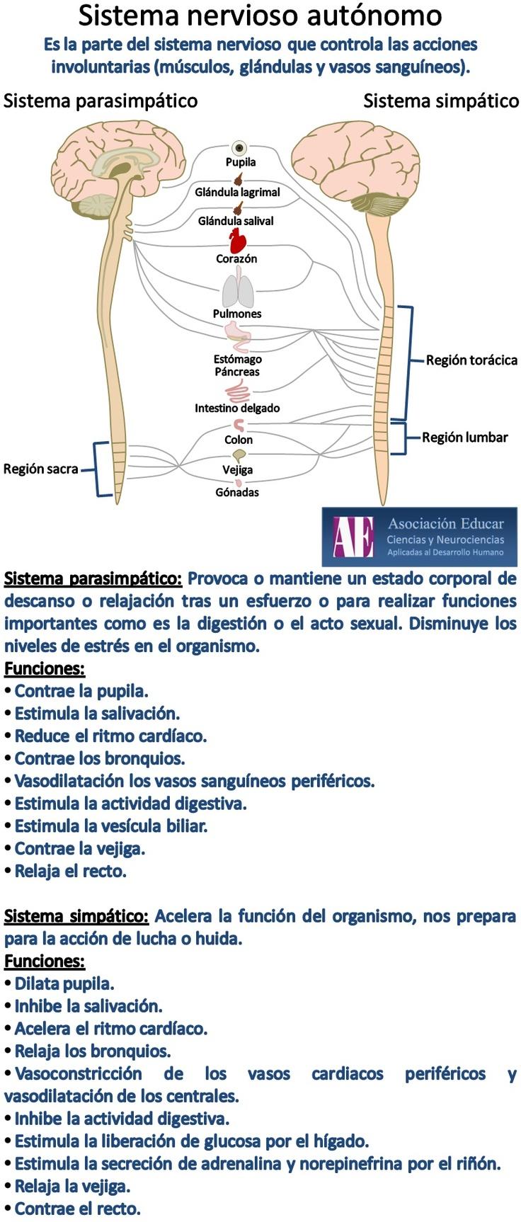 Ilustración Neurociencias: Sistema nervioso autónomo - Asociación Educar -   Ciencias y Neurociencias aplicadas al Desarrollo Humano -   www.asociacioneducar.com