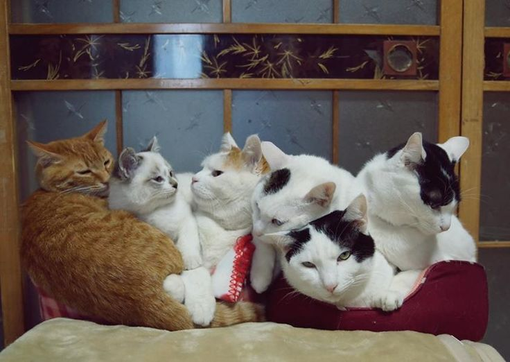 Kitteh Pile with the Shironeko gang! Note that Shiro occupies the central spot.