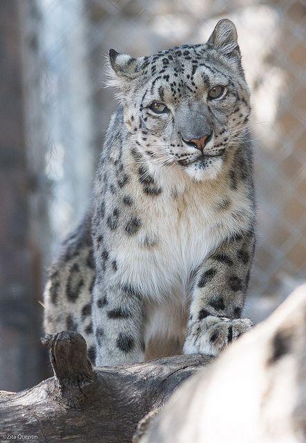 Snow Leopards - Photos!
