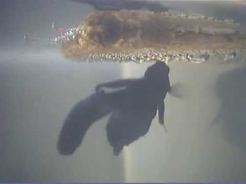 Betta Splendens goes crazy with her fry - 1 part