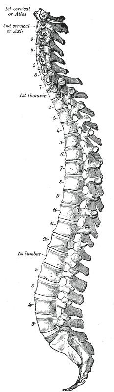 Lateral view of the vertebral column. Illustrations. Fig. 111. Gray, Henry. 1918. Anatomy of the Human Body.