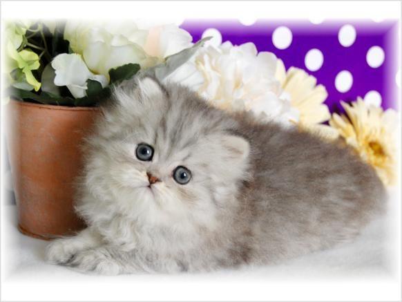 Gatos, Gatos La Taza De Té, Taza De Té Gatos Persas, Gatitos Persas En Venta, Gatito Persa, Gatito En Venta, Gatitos Imágenes, Gatos Gatitos, Nest Spring