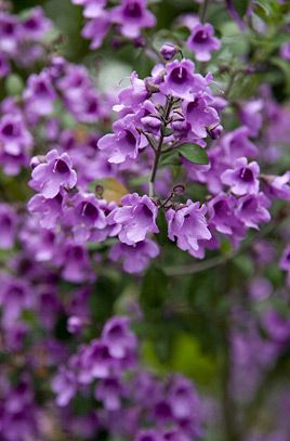 RHS info about Prostanthera Rotundifolia (Round-leaved mint bush)