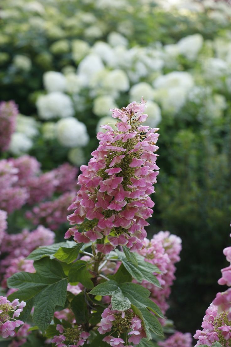 Best 25 hydrangea quercifolia ideas on pinterest for Hydrangea quercifolia