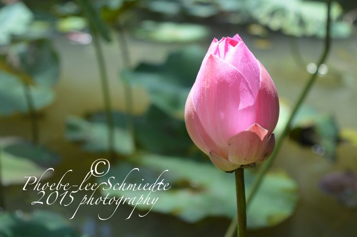 beautiful pink water lily in bali, 2014