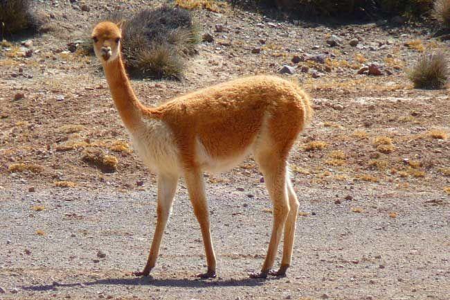 Animals That Start With V List Of Amazing Animals Beginning With V Animals Beginning With V Animals Sleeping Animals