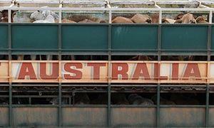 Alive and kicking: Australia's animal export trade booms despite persistent claims of cruelty