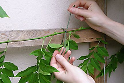 how to prune, care for, and train wisteria to climb