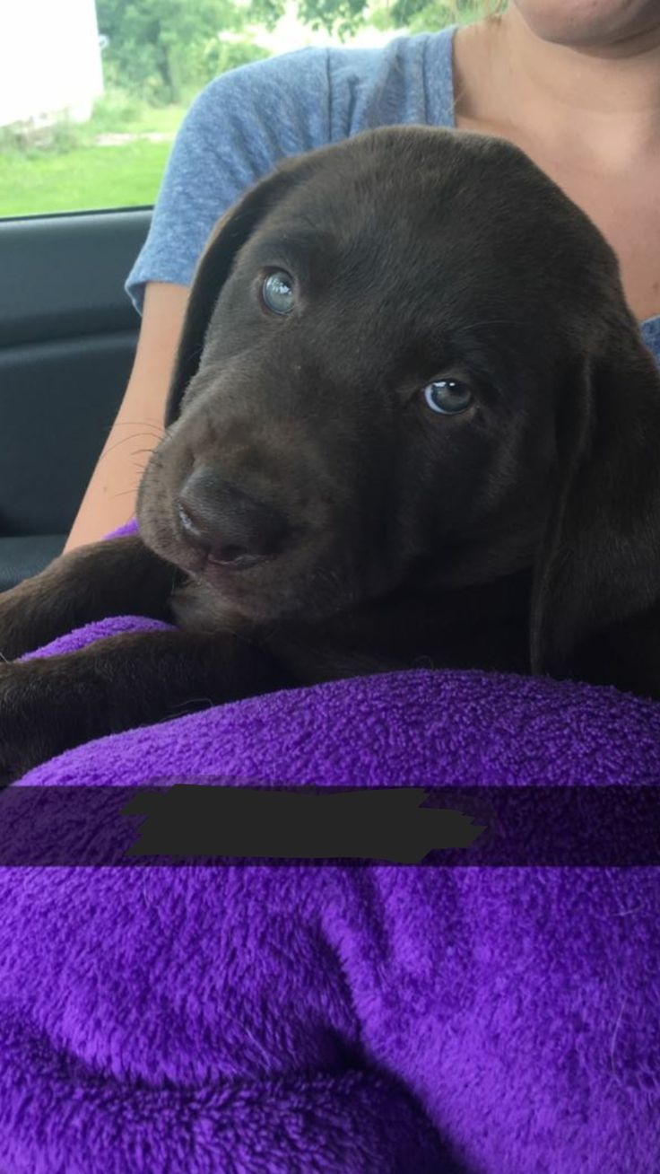 Meet Penny! Penny is an 8-week-old purebred Labrador Retriever with beautiful eyes and a a sweet face! She came home yesterday and is excited to make friends with her new kitty brother and sisters. Welcome to the family Penny girl!