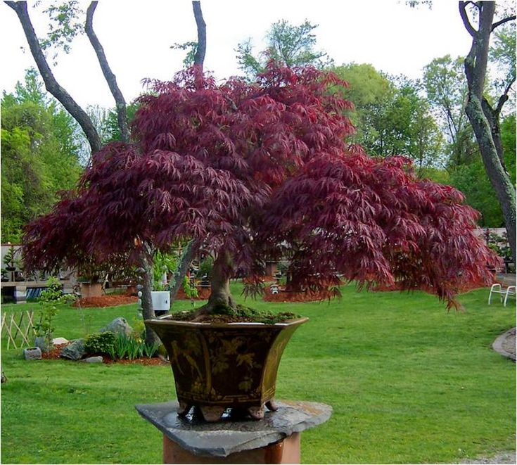 Potted japanese maple nature pinterest for Maple trees for small gardens